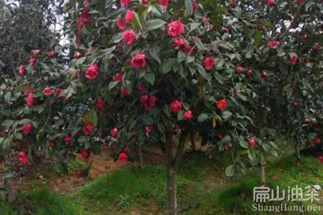 大果油茶种植