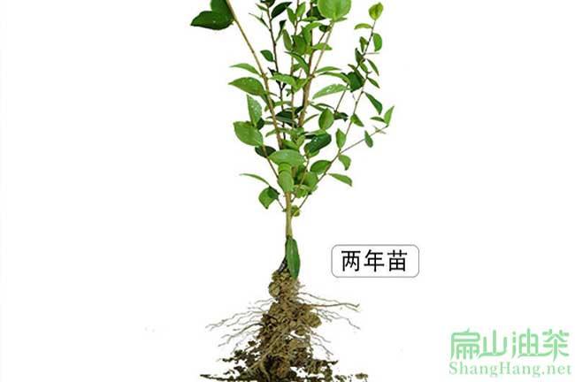 广西茶籽树种植