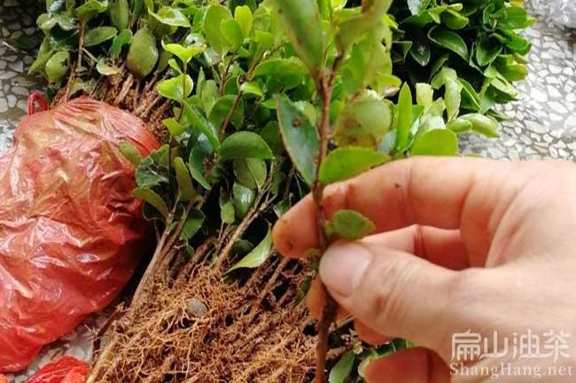桂林大红花油茶苗