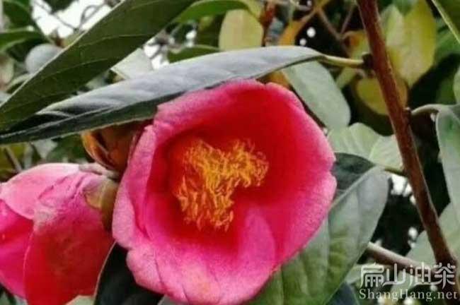 中国大果油茶树基地