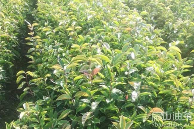 中国大果茶树苗培育