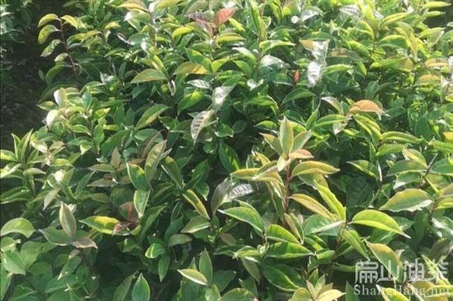 湖南大型油茶基地