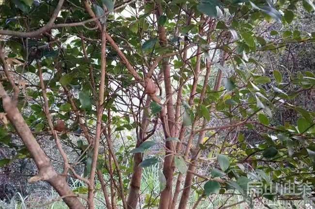 10年大红花油茶树