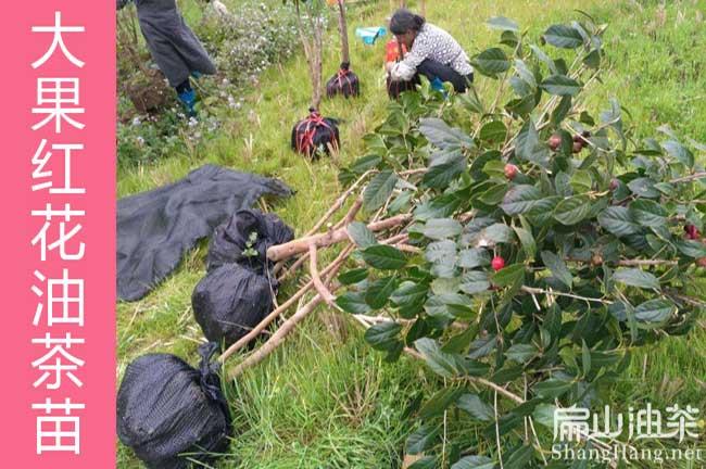 广东蟠龙油茶种植