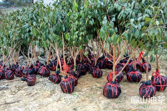 广西红花大果油茶树