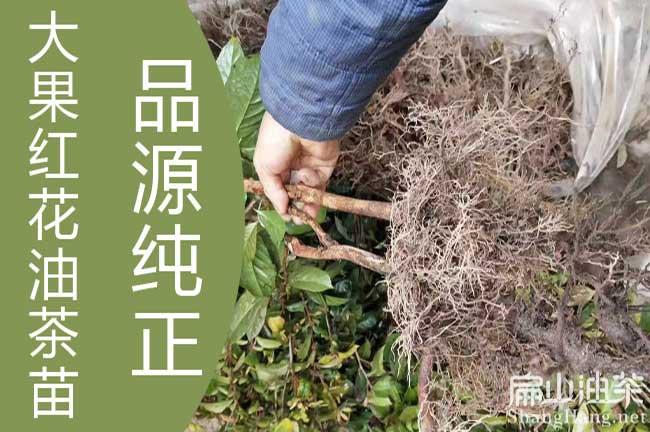 大果茶树种植