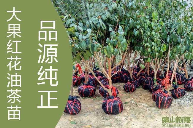 广西大红花油茶基地