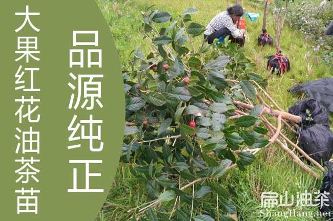 福建大果红花油茶苗