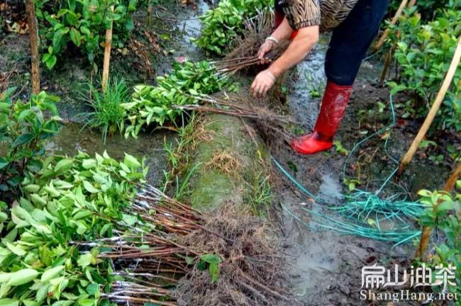 梧州红花油茶苗