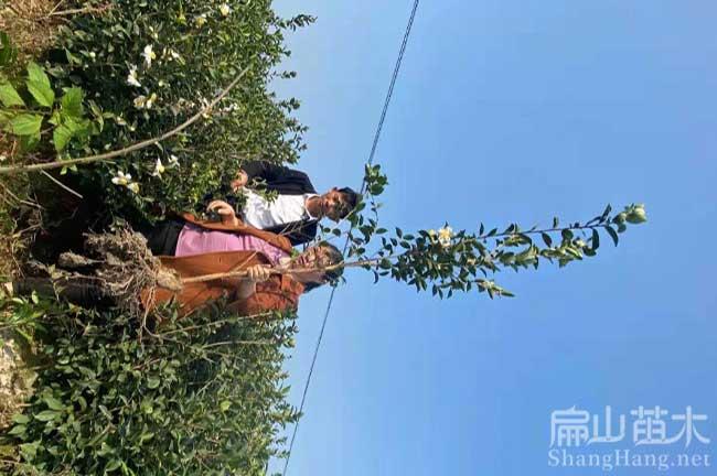 恭城油茶种植