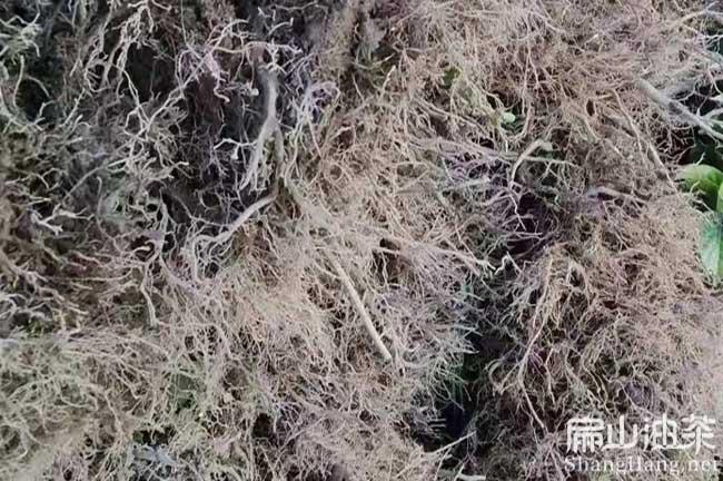 江永油茶苗批发
