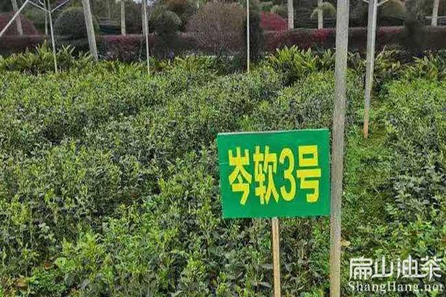 广西油茶种植