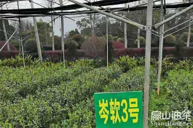 江华油茶基地