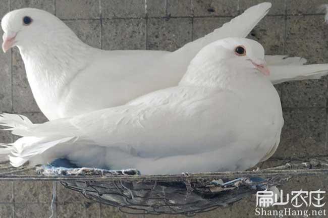 漳州白鸽子批发