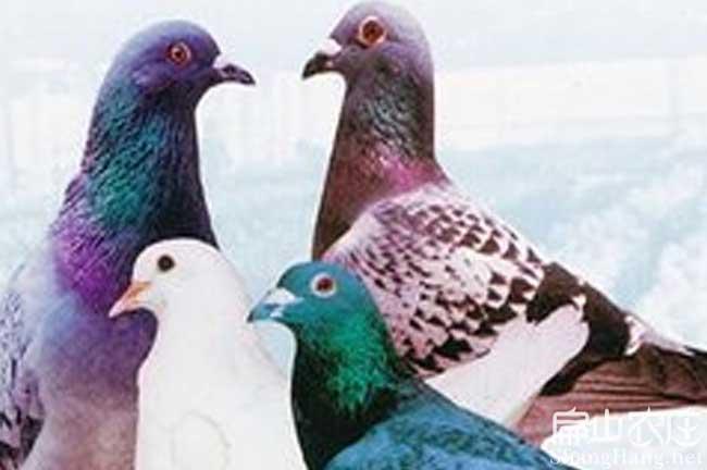 漳州肉鸽批发