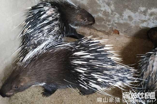 三明豪猪养殖