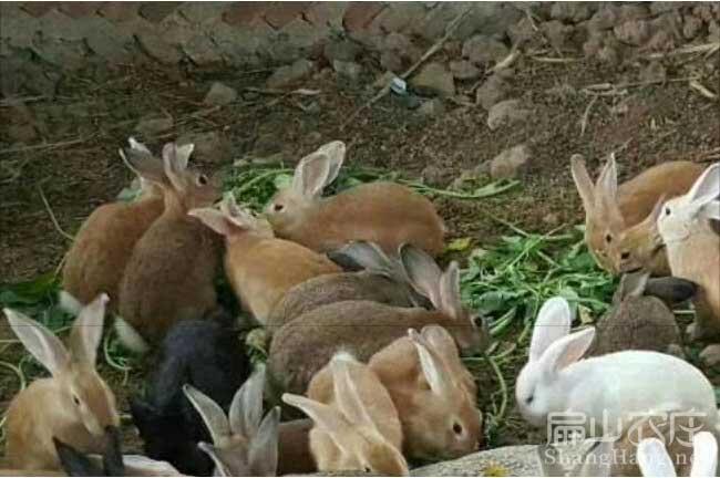 广东黄毛兔批发