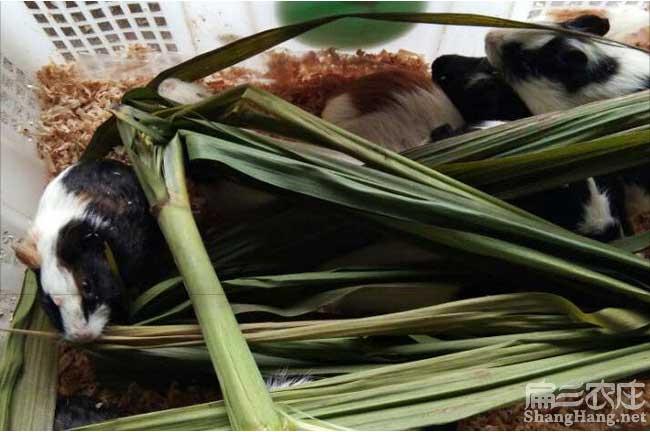 台州彩豚鼠养殖