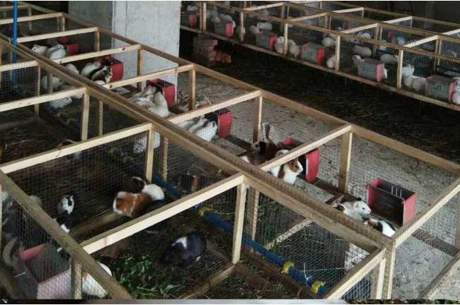 丹山黑豚养殖