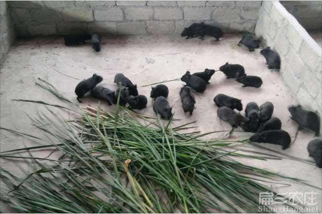 江门黑豚种苗