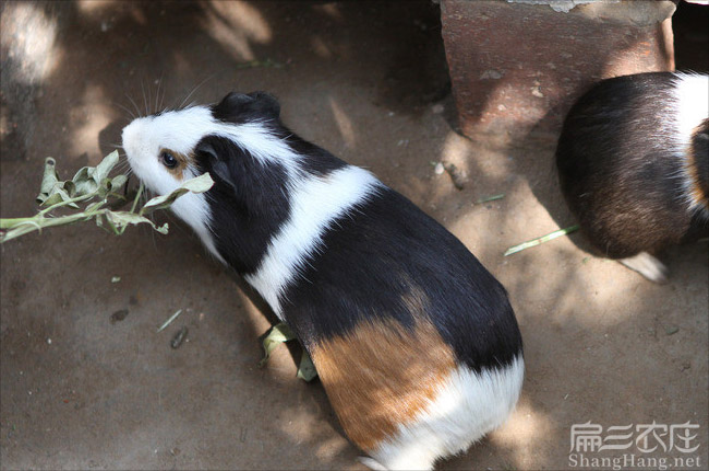 福建黑豚养殖