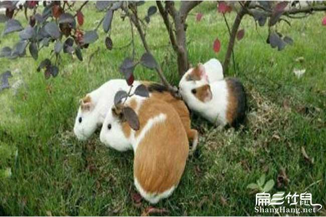 广州规模黑豚养殖