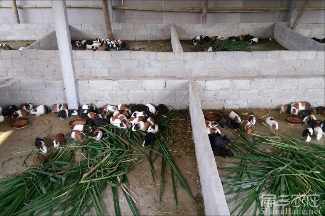 云浮黑豚鼠养殖