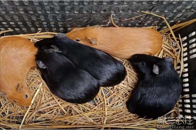赣州黑豚养殖