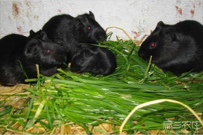 珠海黑豚鼠养殖