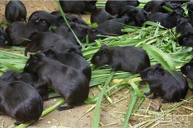 佛山彩豚养殖