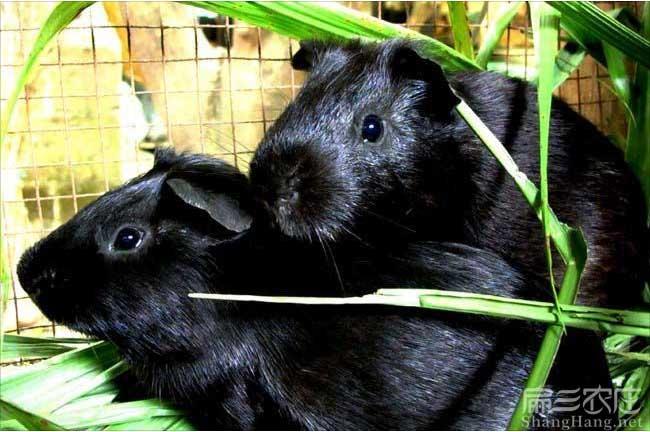 永春黑豚鼠种苗