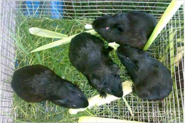 金华黑豚养殖