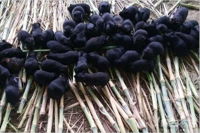 江苏黑豚种苗