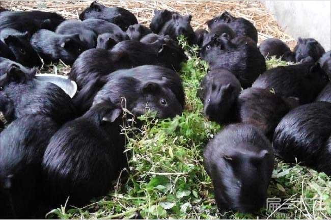 永春黑豚养殖