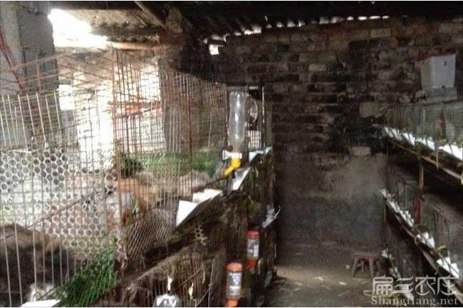安溪黑豚种苗批发
