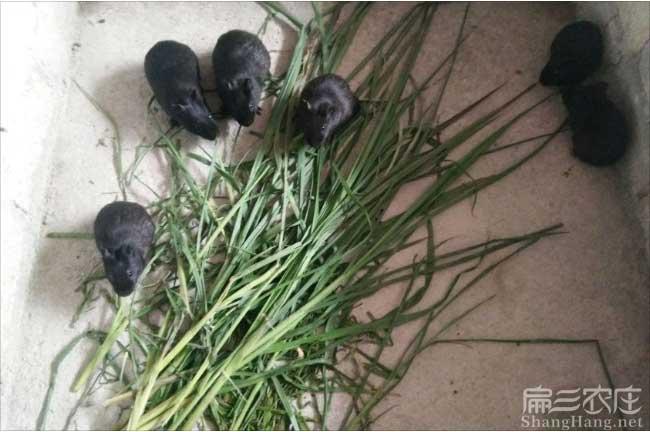 梅县黑豚鼠养殖基地