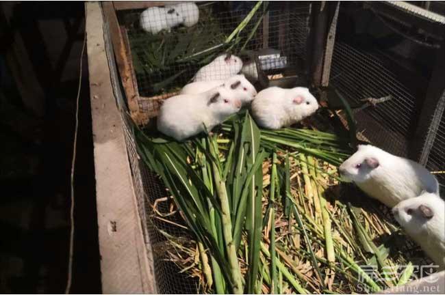 福建白豚鼠