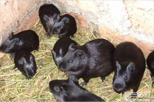 广西黑豚养殖方式