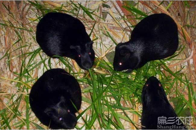 黑豚养殖前景