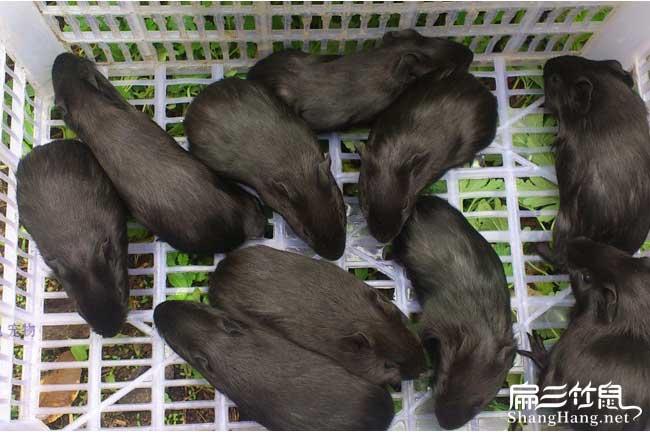 梧州黑豚种苗价格