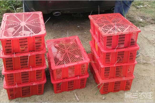 广西黑豚养殖