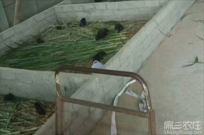 贺州黑豚养殖