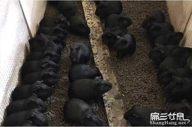 防城港黑豚养殖