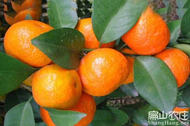 南平橘子苗种植