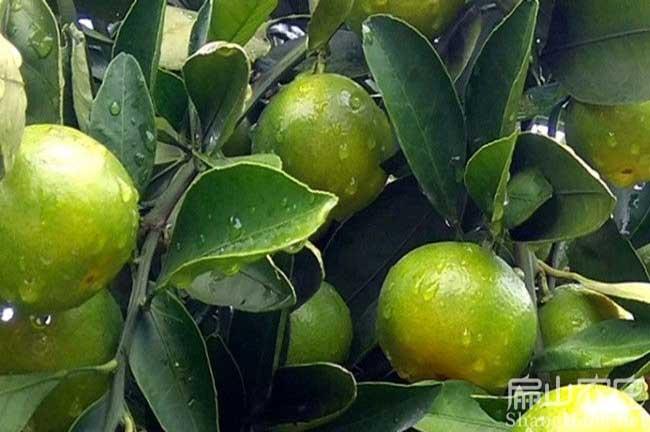 三明橘子树种植