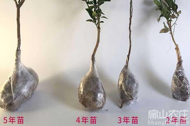 云南橘子苗种植
