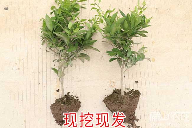 永春沃柑苗