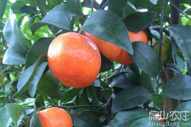 福州皇帝柑种植