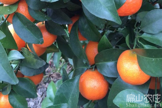 泉州砂糖橘子苗