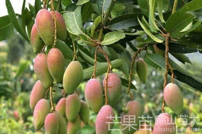 上饶芒果种植